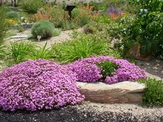 Rock Soapwort (Saponaria ocymoides) High Soap Content, Low Growing, Perennial