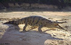 Australian Freshwater Crocodile *
