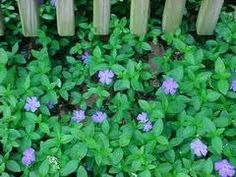 100 Plants leads) Vinca Minor, Periwinkle, graveyard, ground cover vines: 100 plants in each order. Periwinkle Plant, Hedera Helix, Carl Von Linné, Front Flower Beds, Ground Cover Plants, Hardy Perennials, Landscaping Plants, Gardens, Periwinkle