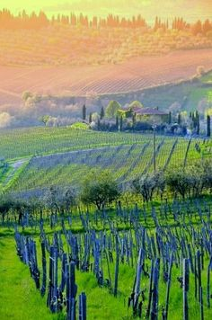 Vineyards at Sunset | Montepulciano, province of Siena, Tuscany