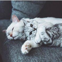 👉👉😻 Follow @gato_cats 😻👈👈 👉😻 Photo by: @neelandcliff 😻👈 #cat #cats #catstagram #ilovecats #catlover #instacat #catlife #catlove #catsagram #catoftheday #catsofinstagram #meow #kitty #cutecat #kittycat #kittylove #gato #gatos #gatito #catstagram #lovecats #pet #pets #mascota #mascotas #animal #animales #aww #adorable
