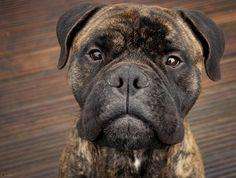 love this face - bullmastiff