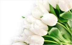 White Tulip Flower Wallpaper | white tulip flower wallpaper