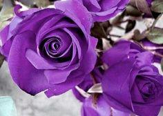 B3000 100 SEEDS Purple Roses Violet Rose Garden Double Flower Bulk Perennials. $1.10, via Etsy.