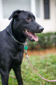 2/20/15       I found this beauty in old pins, according to the pin, she has been listed a YEAR ago!!    She sounds like a  very nice girl, please share her, and see her other lovely pic by clicking under her above picture.        Zoey is a 10 month old black lab / Pointer mix. She loves to play with other dogs and has lots of energy. She loves to chase balls and frisbees. She loves being close to people and is a very loyal dog. She is a medium size dog of about 40-45lbs....