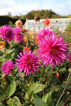 Discover one of the greatest restored gardens and visitor attractions in West Sussex, near Chichester. Admire the walled kitchen garden, Edwardian pergola, Arboretum, award-winning Sunken Garden and more. Chichester West Sussex, Sunken Garden, Dahlias, Dean, Perennials, Roots, Pergola, October, Vibrant