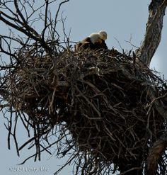 Llano Eagles Nest... Eagle Nest, Birds Of Prey, Raptors, Eagles, Bald Eagle, Wildlife, Texas, Friends, Pictures
