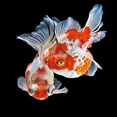 Red and white telescopic goldfish