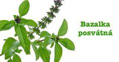 Bazalka posvátná (latinsky Ocimum sanctum L. syn. Ocimum tenuiflorum L.) patří do čeledi hluchavkovité - Lamiaceae. Alternativní názvy jsou bazalka tulsi, indická bazalka, koření lásky. Je to vytrvalý, hustě větvený keřík dorůstající do výšky zhruba 80 centimetrů. Listy jsou oválné, délky do 5 centimetrů, po okrajích jemně zubaté a matně lesklé. Pyskaté narůžovělé až fialové květy jsou uspořádány na koncích lodyh do řídkých hroznů. Semenem je drobná lesklá tvrdka.... Herb Garden, Plant Leaves, Herbs, Plants, Herbs Garden, Herb, Plant, Planets, Medicinal Plants
