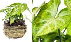 As folhas do Singônio têm nervuras brancas quando jovens e ficam completamente verdes depois da madura. Devido ao seu formato, é muito usado para decoração em vasos ou como forragem em jardins e arranjos. Ele deve ser cultivado à meia sombra e regado com frequência para manter a terra úmida. Nome cientifico: Syngonium angustatum