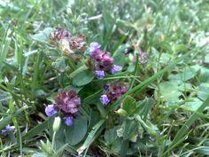 geliebtes Unkraut - Prunella vulgaris, die kleine Braunelle.