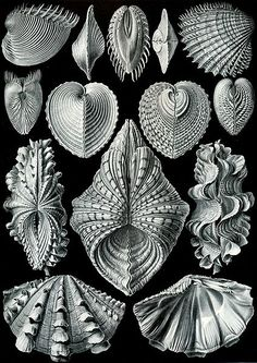 Haeckel- Acephala