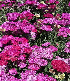 Achillea Flower Burst Red