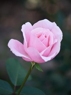 Pink rose by Dimitr Stoyanov