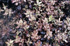 Pittosporum'Tom Thumb' small rounded evergreen which goes well with reds