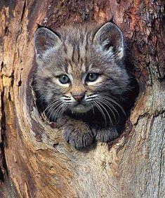 Bobcat Kitten Animal Photography Wildlife by NatureIsArt Baby Bobcat, Bobcat Kitten, Cute Kittens, Cats And Kittens, Beautiful Cats, Animals Beautiful, Cute Baby Animals, Animals And Pets, Wild Animals