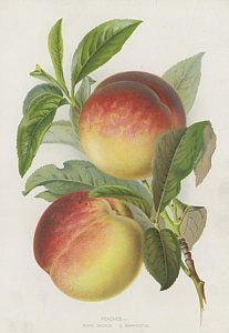 """""""Peaches - George, bold chromolithographic fruit print published in Thompson's Gardener's Assistant, about Watercolor Fruit, Fruit Painting, China Painting, Watercolor Paintings, Vintage Botanical Prints, Botanical Drawings, Antique Prints, Botanical Art, Vegetable Illustration"""