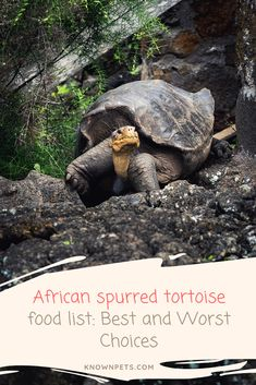 African spurred tortoise food list: Best and Worst Choices - Known Pets Tortoise As Pets, Tortoise Food, Tortoise Habitat, Sulcata Tortoise, Tortoise Care, Russian Tortoise, Eat Fruit, Tortoises, Food Lists