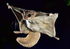 Amazing flight of the southern flying squirrels. British photographer Kim Taylor