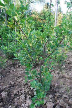 planta da uva espim
