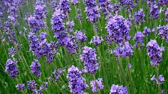 Understanding Different Types of Lavender