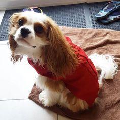 Yayy it's jumper weather again! #cav #cavs #cavalierkingcharlesspaniel #cavalier #cavlife #cavalierkingcharles #cavaliersofinstagram #cavalierkingdom #dog #dogsofinstagram #dogs #lovedogs #instadog #ilovemydog #dogoftheday #ilovemydog #dogstagram #puppy #pup #puppies #puppiesofinstagram #puppylove #instapup #instapup #puppypalace #lovepuppies #love #jumper #doseofpuppy @doseofpuppy #postyourpooch