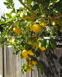 Eureka Lemon trees are the ideal backyard lemon tree, as they're the one that produces lemons almost every day of the year. Dwarf tree for small gardens.