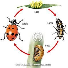 Scientific Illustration of ladybug life cycle because I found a pupa of the ladybug on the butterfly weed. Kindergarten Science, Science Activities, Activities For Kids, Science For Kids, Life Cycles, Kids Education, Kids Learning, Teaching, Butterfly Weed