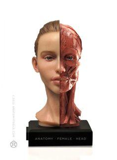 Resultado de imagem para female head anatomy