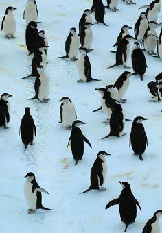 Penguins (by Marcelo Gurruchaga) via abretumente.tumblr.com
