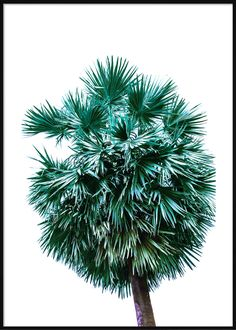 Emerald Palm Tree Tropical Posters, Palm Trees, Dandelion, Emerald, Herbs, Beach, Flowers, Plants, Palm Plants