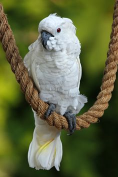 cockatoo on a rope