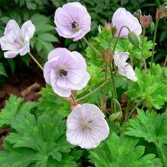 Geranium 'Lilac Ice' Dahlia, Herbaceous Perennials, Heuchera, Lilac Flowers, Green Leaves, Garden Plants, Planting, Garden Ideas, Lime