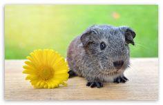 Super Cute Baby Guinea Pig wallpaper