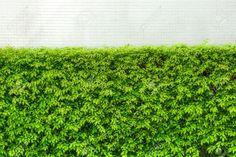 Murraya-paniculata 'Orange Jessamine' hedge