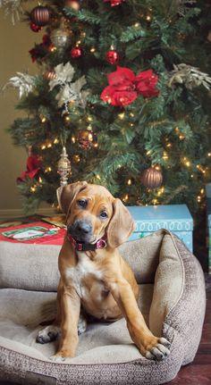 Rhodesian Ridgeback Christmas puppy ❤️ Christmas gift https://www.amazon.com/Kingseye-Painting-Education-Cognitive-Colouring/dp/B075C661CM