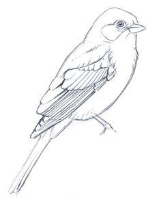 Simplifying Bird Plumage - John Muir Laws