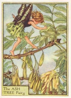 FLOWER FAIRIES 1940's:  The ASH TREE FAIRY. Delightful Old Cicely Barker Print