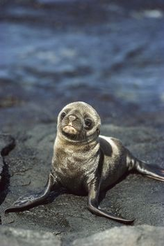 Galapagos Sea Lion (Zalophus wollebaeki) newborn pup, James Bay, Santiago Island, Galapagos Islands by Tui De Roy