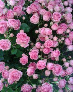 Beautiful Rose Flowers, Flowers Nature, Amazing Flowers, Beautiful Gardens, Pink Roses, Pink Flowers, Beau Site, Rose Vase, David Austin Roses