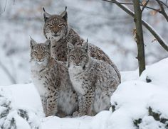 Lynx Trio in cool snow/winter setting Crazy Cats, Big Cats, Cats And Kittens, Lynx, Beautiful Cats, Animals Beautiful, Cats Wallpaper, Wallpaper Wallpapers, Leopard Wallpaper