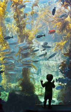 youngster admires a world of fish and seaweed at the Birch Aquarium at Scripps in La Jolla, California.