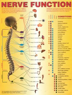 Spinal Disc Chart Nerve Function Pain Most headaches can be treated effectively with medication, but Nerve Anatomy, Human Body Anatomy, Human Anatomy And Physiology, Muscle Anatomy, Nervous System Anatomy, Spinal Nerve, Nursing School Notes, Spine Health, Medical Anatomy