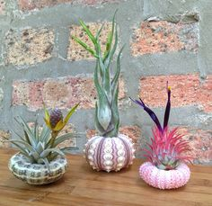 Lovely Set of 3 Sea Urchin and Air Plant by lovelyterrariums, $30.00