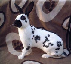 The English Spot Rabbit http://rabbithutchzone.com/ #english #spot #rabbit