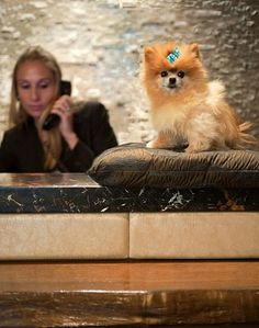 """Ginger, the Teacup Pomeranian who rules the lobby at The Muse New York, is one dog who lives in the lap of luxury. """"Some of the things that make me happy are Prada style, staring contests, and stealing food from the office,"""" notes the petite pooch"""