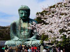 Cherry blossoms, Kamakura, Japan [postcard]