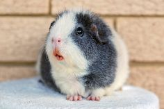 Look at that preciously tiny little open mouth! Eeeeeee, so cute!! Wish my ginnie  was that cute!!!