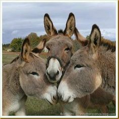 It's the donkey huddle. What moves are coming next? Cute Baby Animals, Farm Animals, Animals And Pets, Funny Animals, Wild Animals, Cute Donkey, Baby Donkey, Mini Donkey, Donkey Donkey