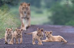 """Future Leaders""A Lioness with 4 of her 5 cubs strolling down a road in Kruger National Park, South Africa"